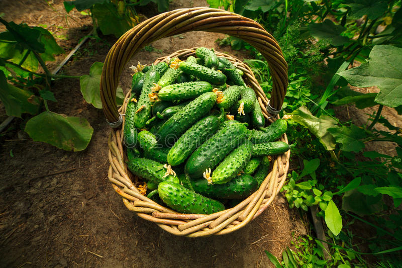 Cucumbers are folded in a basket in a greenhouse stock photo