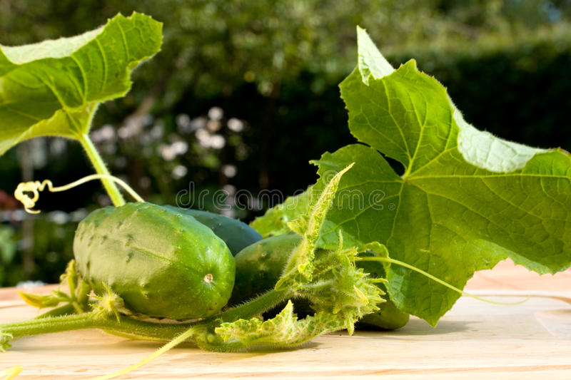 Download Cucumbers growing stock photo. Image of cucumbers, grow - 10723290