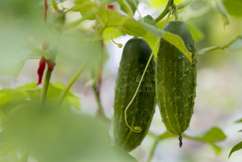 Cucumbers, hanging cucumbers in garden. Cucumbers are hanging on the bush, closen stock photo