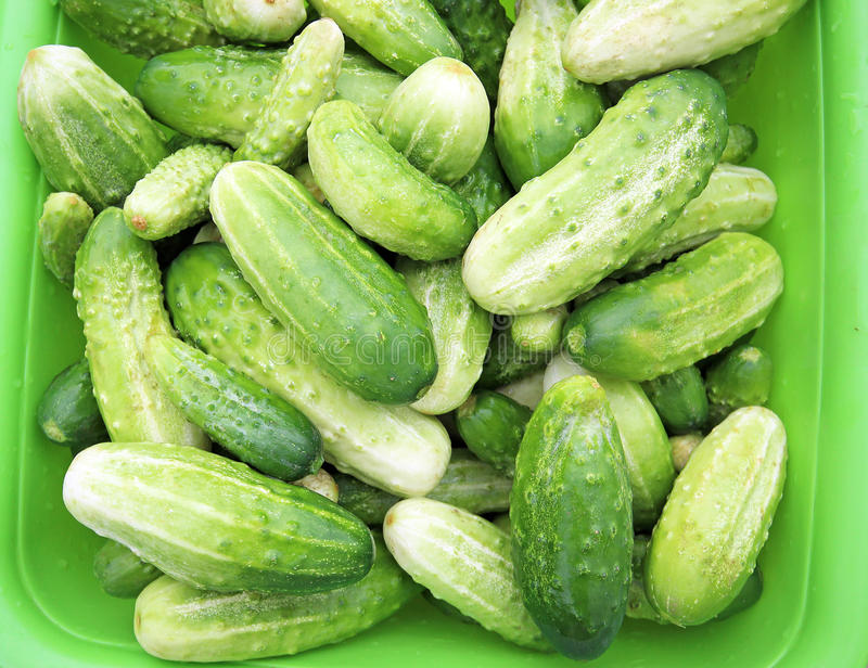 Cucumbers. Kirby Cucumbers on a local farmers market royalty free stock image