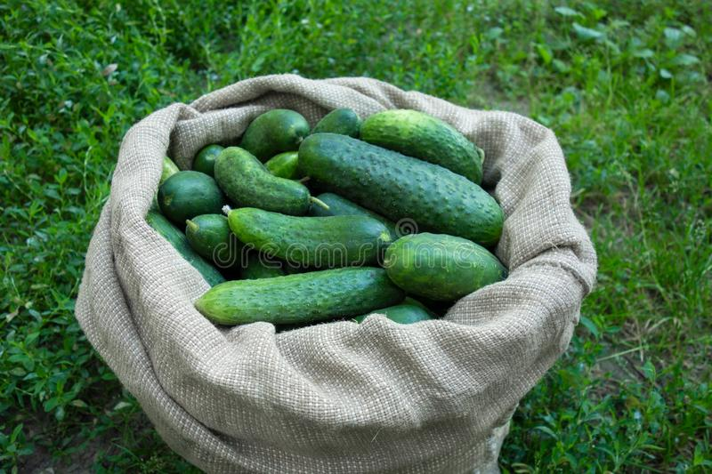 Cucumbers in sack on green grass background. Summer harvest closeup concept image. Organic diet food stock photography