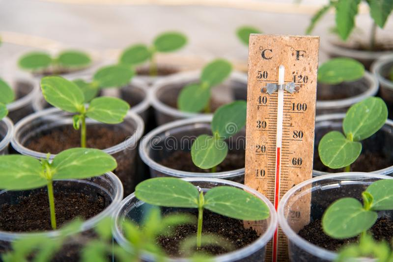 Cucumbers seedlings in a greenhouse and a thermometer showing the temperature of the growing environment royalty free stock photo