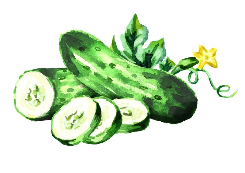 Cucumbers. Watercolor hand drawn illustration, isolated on white background vector illustration