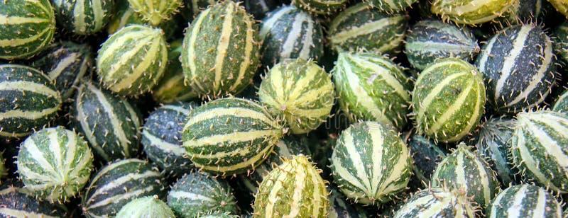 Cucumis anguria, cackrey, kastanienbraune Gurke, westindische Essiggurke und westindischer Kürbis Deco-Früchte gelb und grüne Far lizenzfreies stockbild