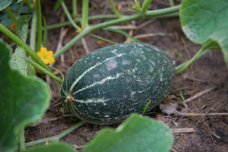 Cucumis melo, a fruit from the watermelon family which is usually. Made as a refreshing drink especially in thailand royalty free stock images