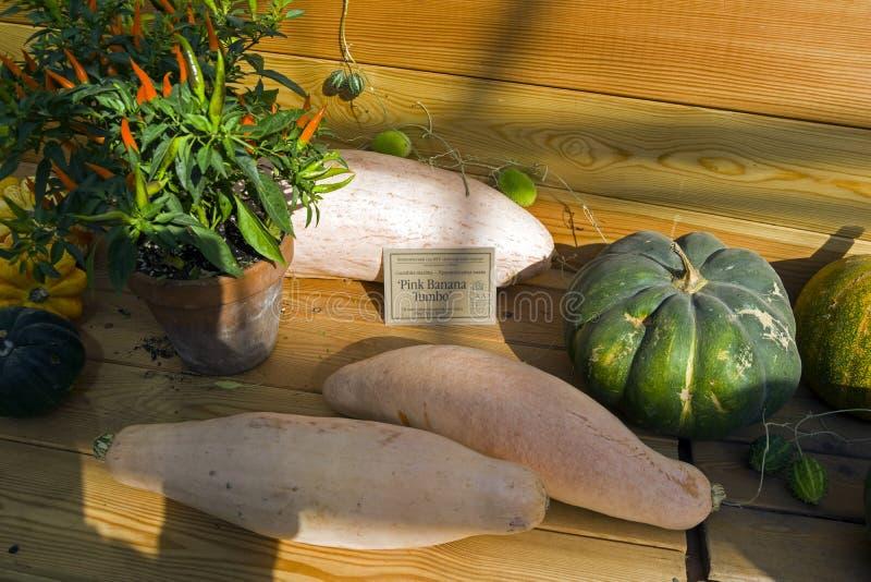 Cucurbita maxima del largefruit della zucca fotografia stock