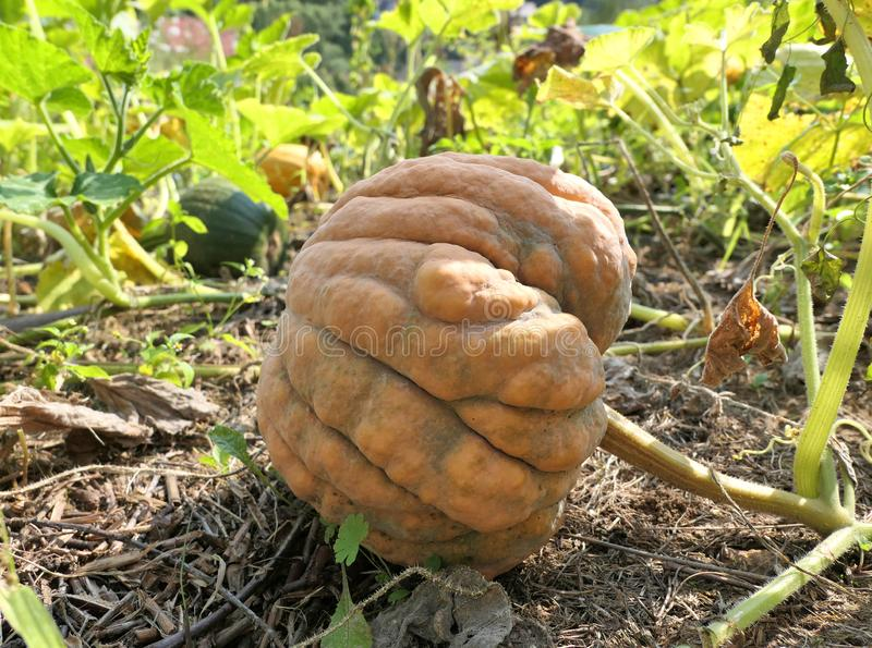 Pumpkin growing in the garden royalty free stock image