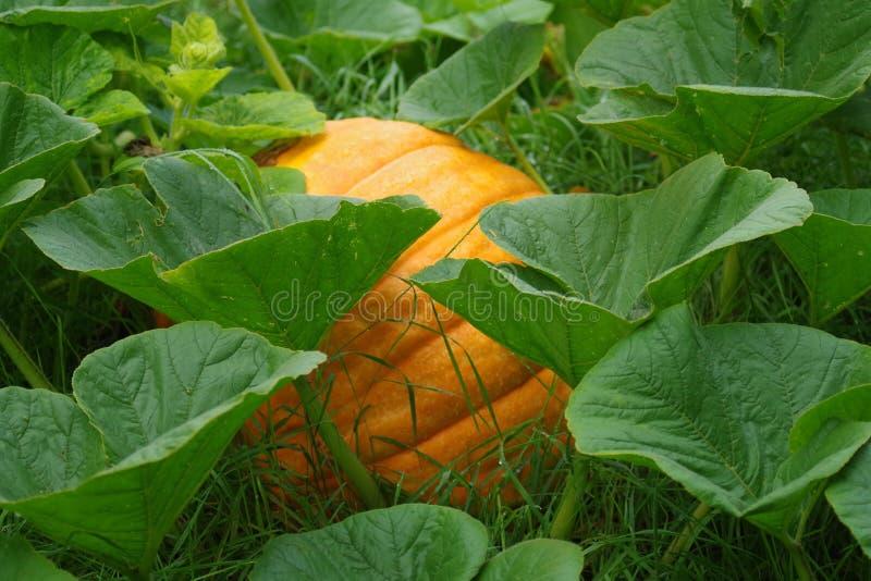 Cucurbita pepo - pumpkin stock image