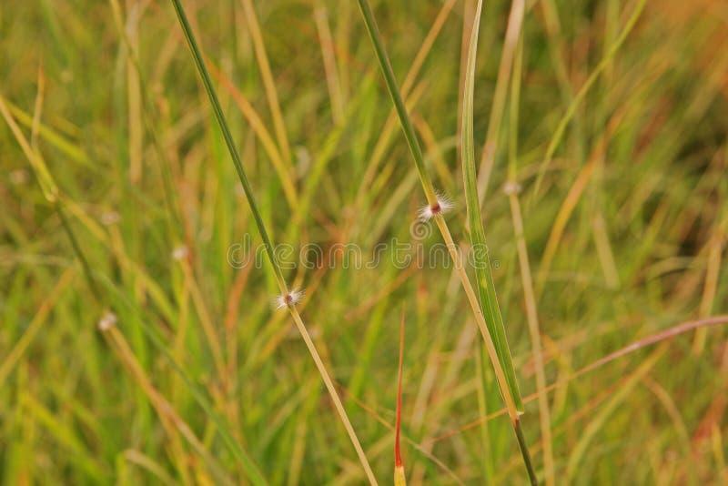 Cud trawa lub hindus trawa, powszechnie używany jako furażujący dla bydlęcia zdjęcie stock