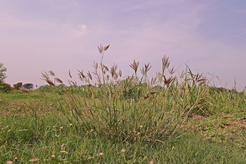 Cud trawa lub hindus trawa, powszechnie używany jako furażujący dla bydlęcia zdjęcia royalty free