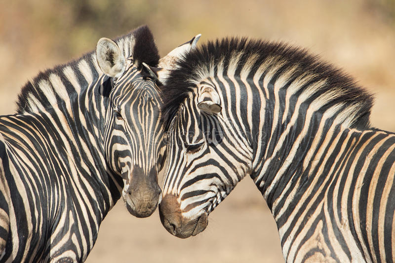 Cuddles between two zebras stock photography