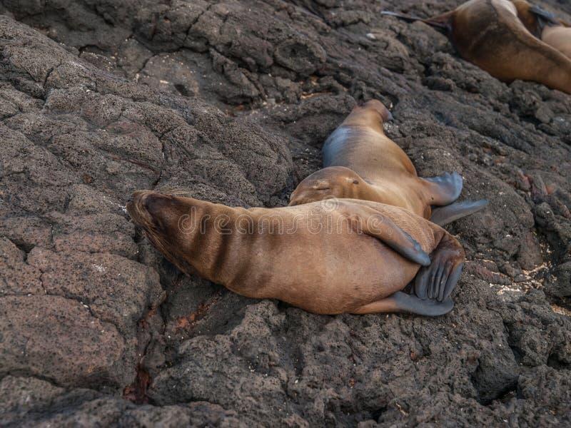 Cuddling Sea Lions royalty free stock image