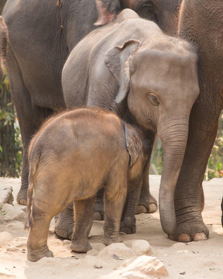 Cuddly baby elephant royalty free stock photography