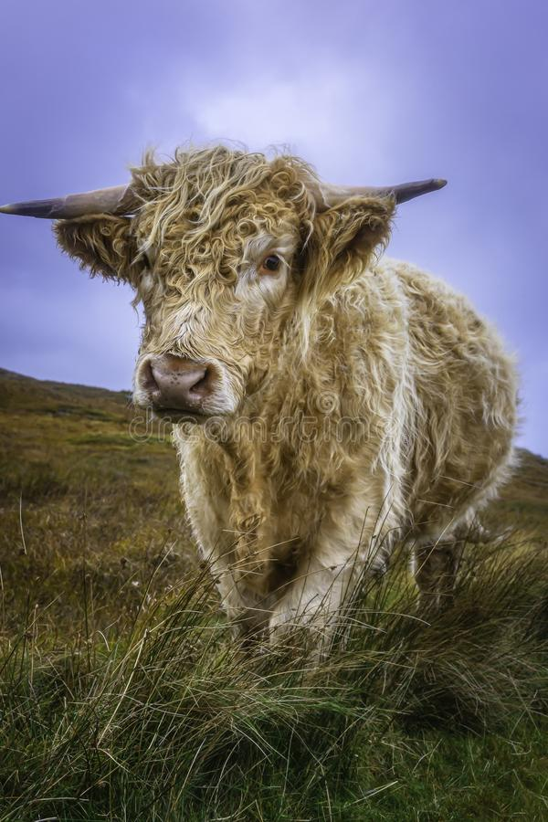 Cuddly highland cow standing on pasture and looking at camera. Farm animal.Agriculture in rural Scotland.Bright and vibrant image of adorable cow.Domestic royalty free stock photos