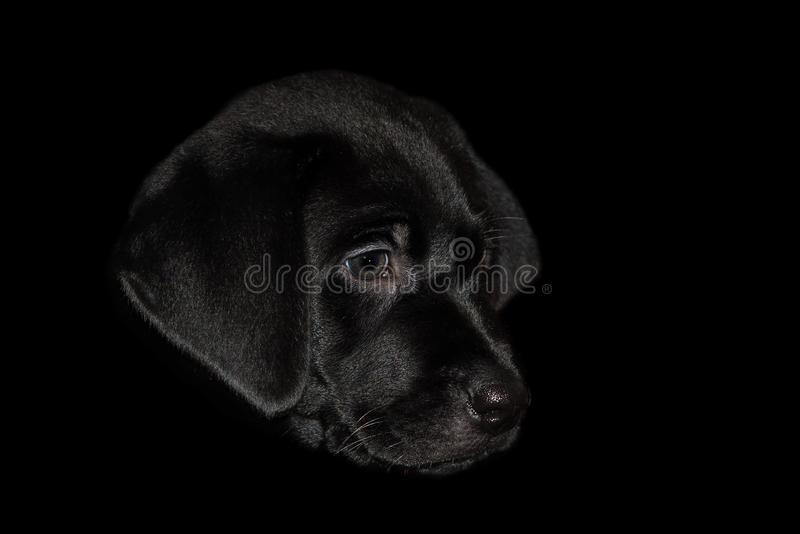A Cuddly Labrador Puppies Head Isolated on a Black Background. stock photos
