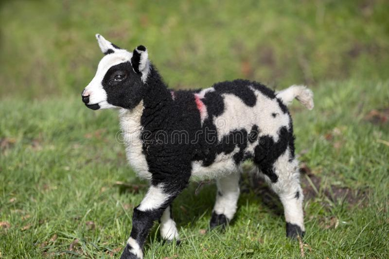 Cuddly spotted, mottled black and white lamb, looking dinky, standing in the green grass. Of a meadow stock image
