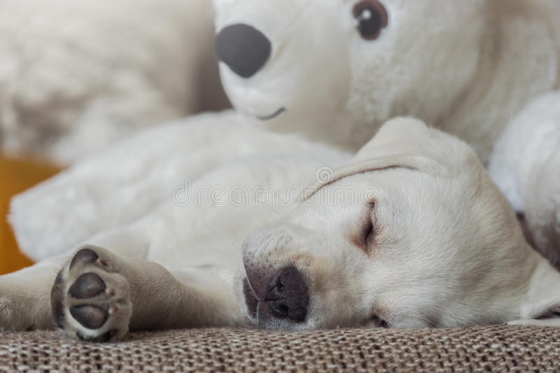 Cuddly toy polar bear and white labrador dog puppy. Cuddly toy of polar bear and a white labrador puppy cuddle on the couch and sleep royalty free stock photography