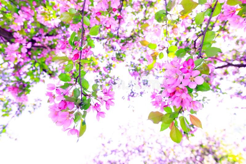 Cudowna gałąź fiołkowy czereśniowy okwitnięcie podczas wiosna sezonu Drzewo jabłko kwitnie w oszałamiająco słonecznym dniu Piękne obrazy royalty free