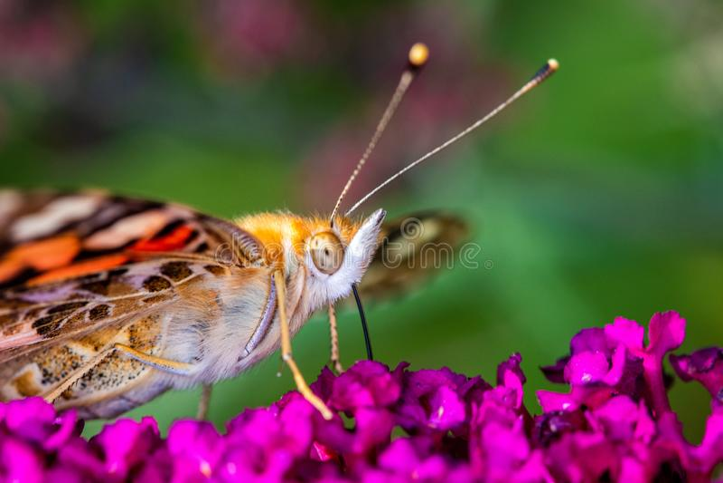 Cudowna motylia różowa dama, kosmopolita szuka nektar na różowym kwiacie z zielonym tłem zdjęcia royalty free