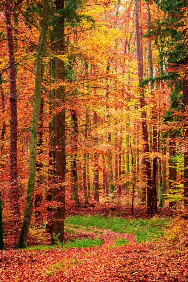 Cudowna obfitolistna ścieżka w lesie w spadku, Polska zdjęcie stock