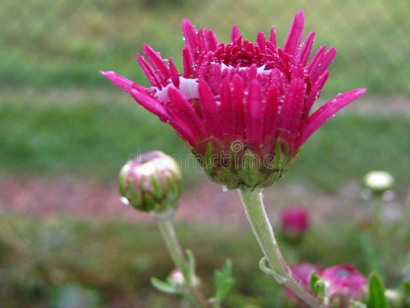 Cudowni jaskrawi różowi chryzantema kwiaty zamknięci w górę zdjęcia stock