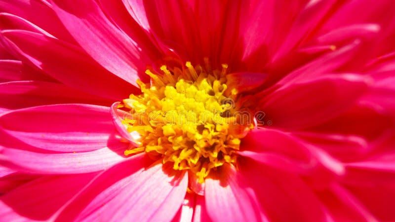 Cudowni jaskrawi różowi chryzantema kwiaty zamknięci w górę obrazy royalty free