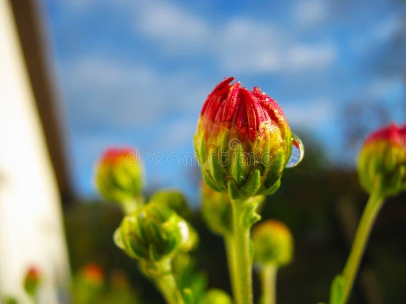 Cudowni jaskrawi różowi chryzantema kwiaty zamknięci w górę zdjęcia royalty free