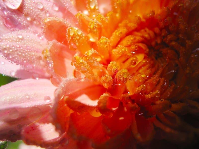 Cudowni jaskrawi różowi chryzantema kwiaty zamknięci w górę obrazy stock