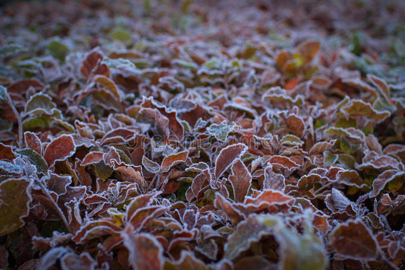 Cudowni jesienni liście zakrywający z białym hoarfost krzak zdjęcia royalty free