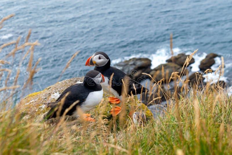 Cudowni maskonury przychodzili Iceland fotografia stock