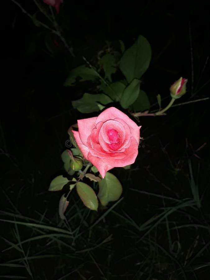 Cudowny kwiat przy zdolnością widzenia w ciemnościach w ogródzie obraz royalty free