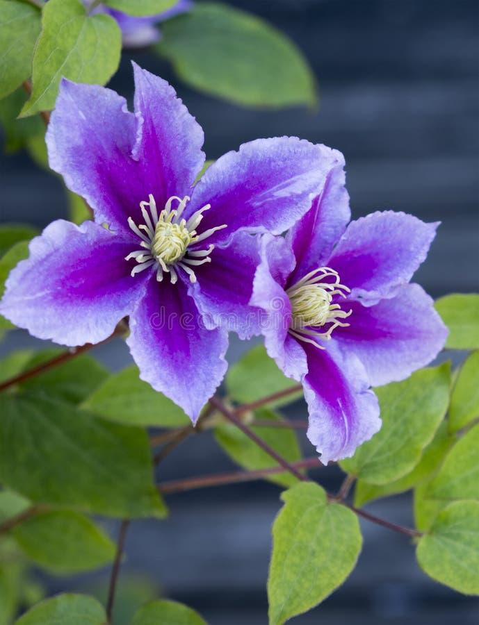 Cudowny Purpurowy Clematis zdjęcia royalty free