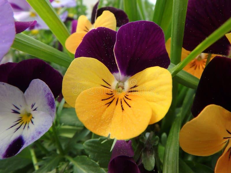 Cudowny purpurowy pansy, fiołek, altówka, violaceae, kwitnie zdjęcia royalty free