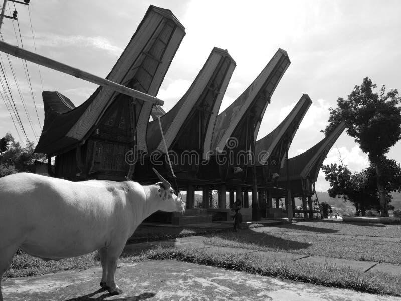 Cudowny Toraja zdjęcia royalty free