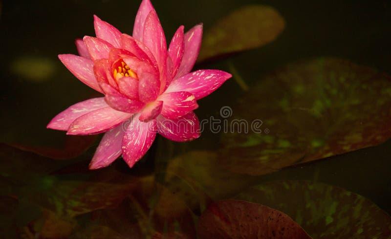 Cudowny Wodnej lelui menchii kolor zdjęcia stock