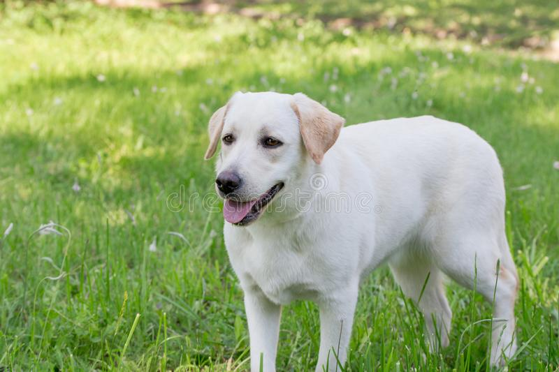 Cue labrador retriever puppy is standing on a green grass. Pet animals. Purebred dog stock image