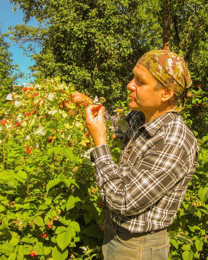 Cueillette de jardinier d'homme supérieur et framboises de consommation sur le buisson images stock