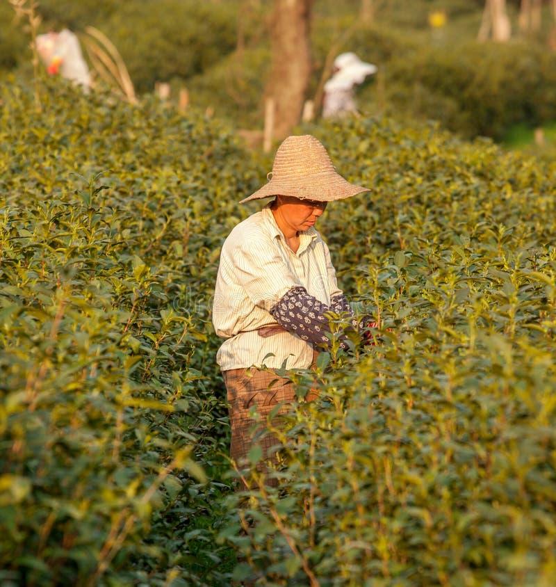 Cueillette de thé de Longjing photographie stock