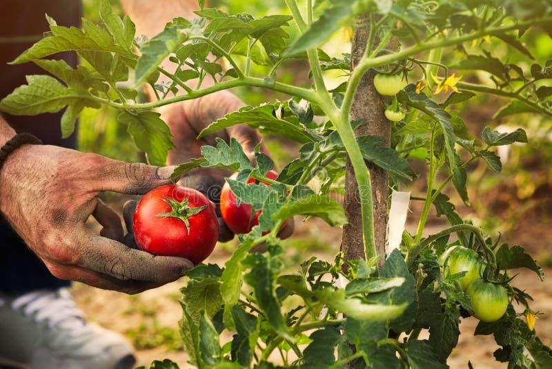 Cueillette de tomate dans le jardin photographie stock