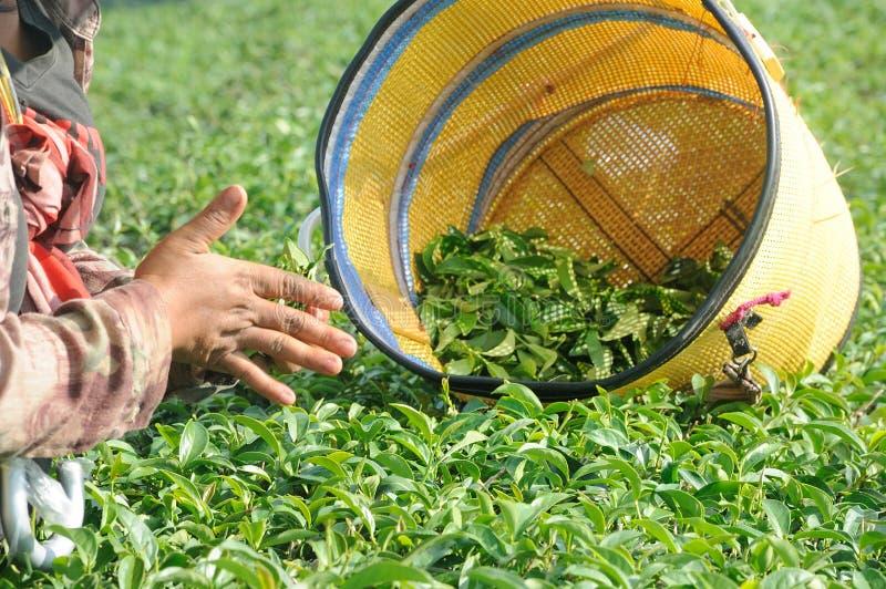 Cueillette de travailleur et feuilles de thé d'écrasement dans une plantation de thé image libre de droits