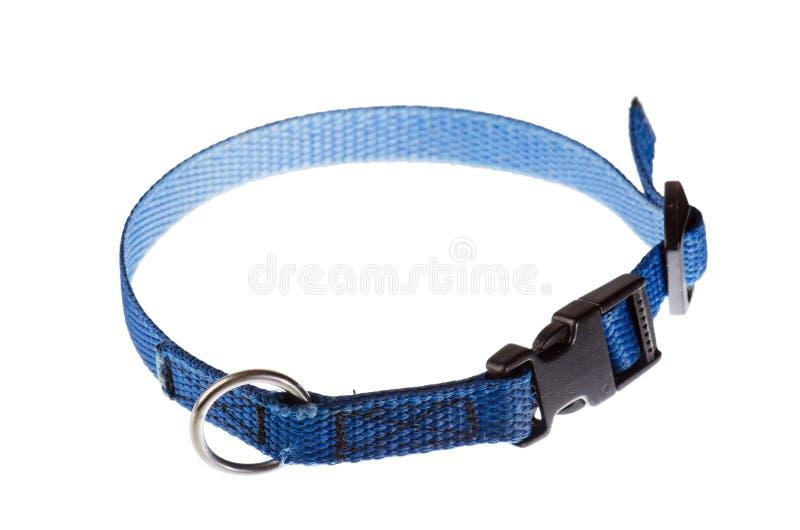 Cuello azul para un pequeño perro eso imagenes de archivo