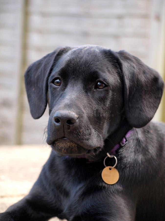 Cuello y etiqueta que llevan negros del perro de perrito de Labrador imagen de archivo libre de regalías