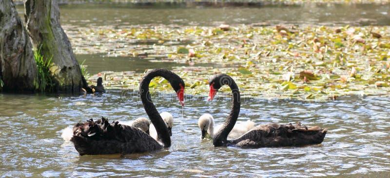 Cuellos de los cisnes negros que forman un corazón fotos de archivo libres de regalías