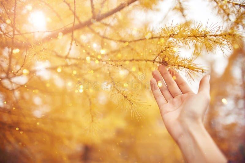 Cuento de hadas de oro con los árboles amarillos en el bosque, luz del sol del otoño en rama Árbol con las agujas amarillas del a fotografía de archivo
