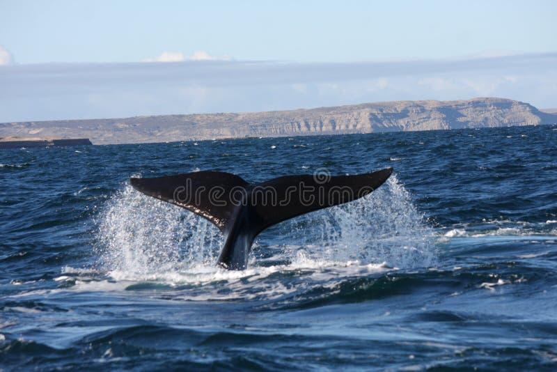 Cuento meridional de la ballena derecha fotografía de archivo