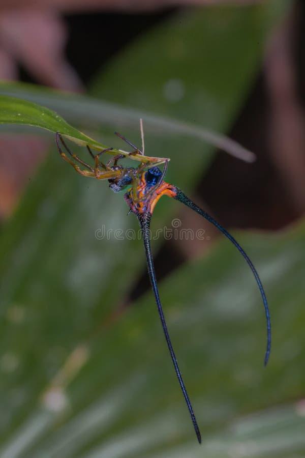 cuerno largo de la araña hermosa en la hoja fotografía de archivo