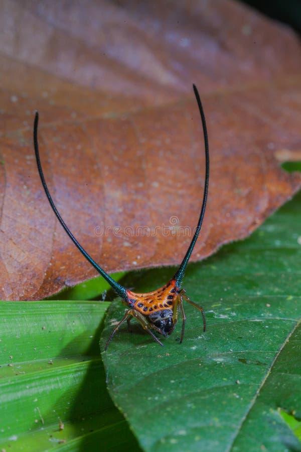 cuerno largo de la araña hermosa en la hoja fotografía de archivo libre de regalías