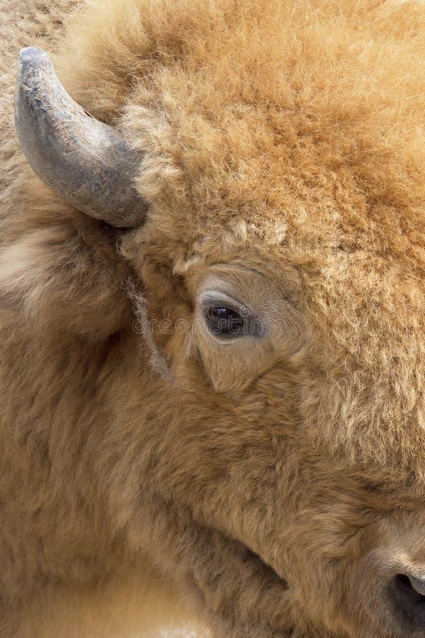 Cuerno y ojo del bisonte europeo imagen de archivo