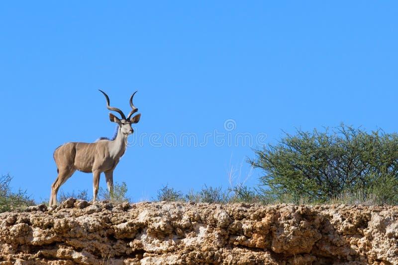 Cuernos magníficos del toro masculino solitario del kudu que se colocan en desierto seco fotos de archivo libres de regalías