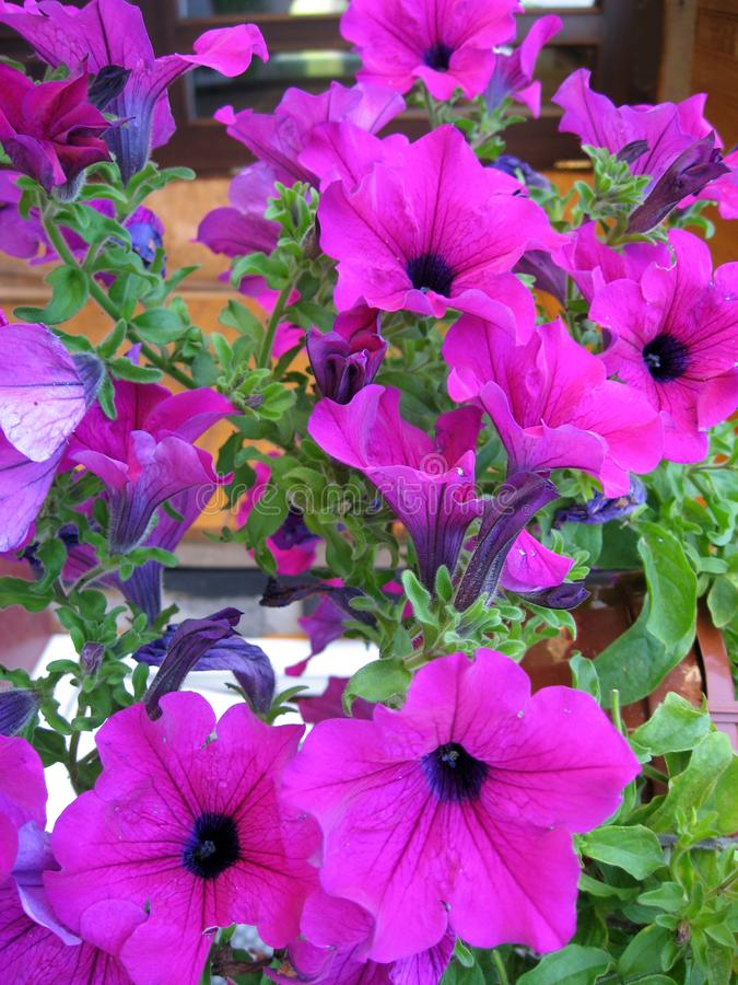 Cuernos púrpuras foto de archivo